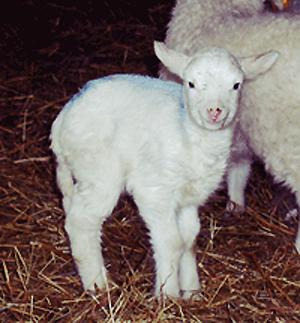 羊の毛刈り&乳搾り体験